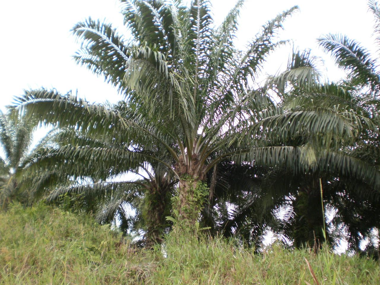 パームオイルの木